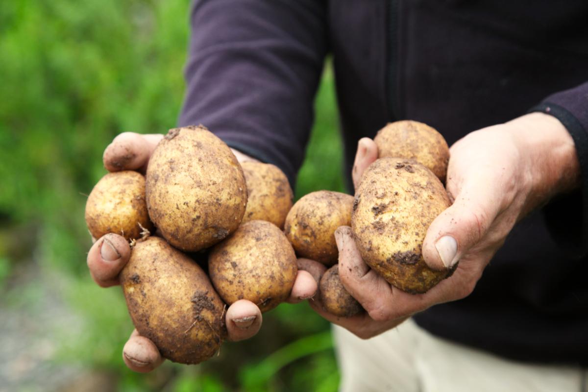 so schöne Kartoffeln